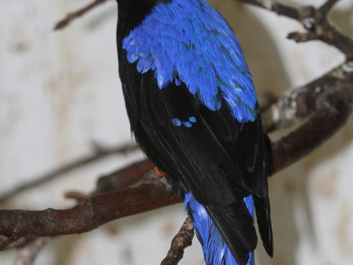 Uppfödning av blåfågel <em>(Irena puella)</em>