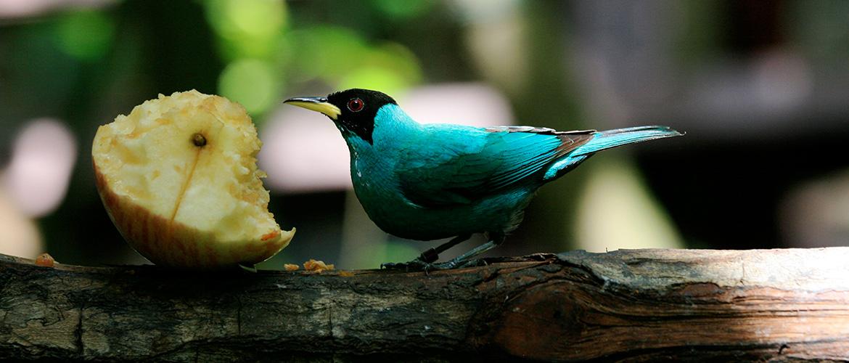 Svarthuvadsockerfågel