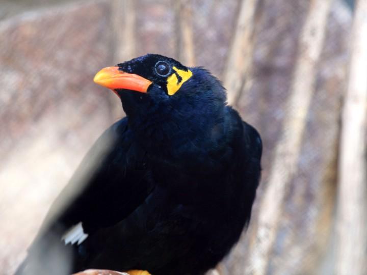 Beostarar – arter eller underarter