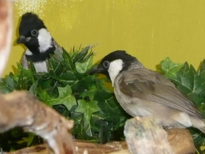Uppfödning av vitkindad bulbul <em>(Pycnonotus leucotis)</em>
