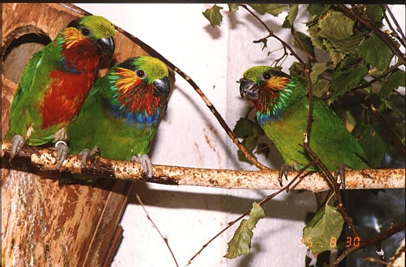 Par och hona Edwards fikonpapegoja (Psittaculirostris edvardsii). Foto Claus Utoft.